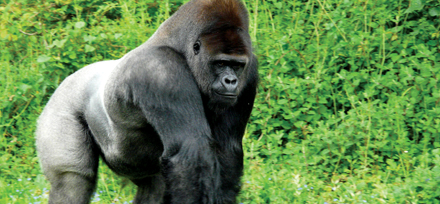 gorilla_uganda